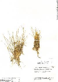 Image of Eleocharis flavescens