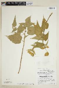 Image of Abutilon dianthum