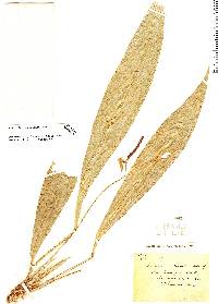 Image of Anthurium carchiense