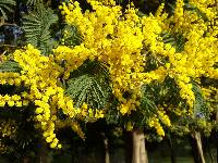 Image of Acacia dealbata