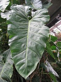 Image of Philodendron maximum
