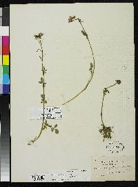 Image of Cardamine jamesonii