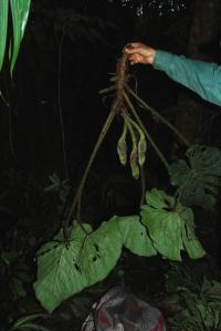 Philodendron verrucosum image