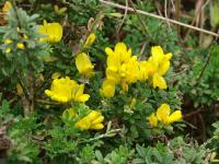 Image of Genista monspessulana