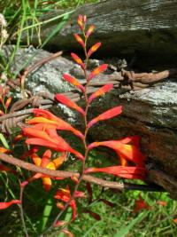 Image of Crocosmia x crocosmiiflora