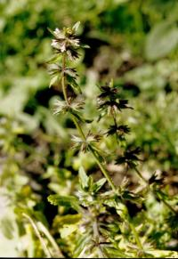 Stachys arvensis image