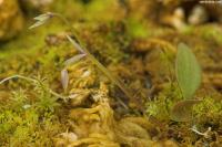 Image of Utricularia jamesoniana