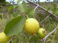 Image of Psidium guajava