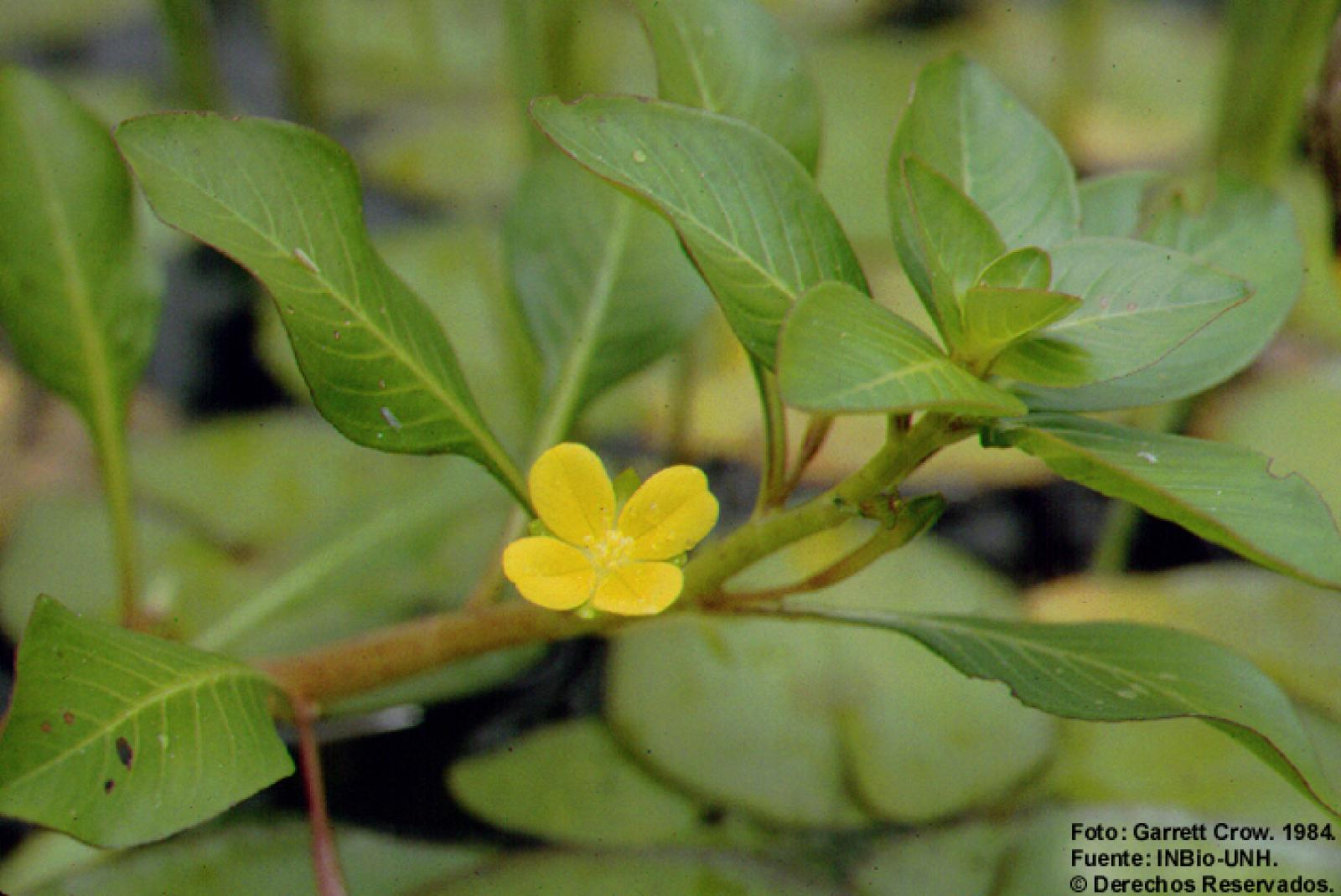 Ludwigia inclinata image