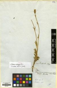 Image of Silene chilensis