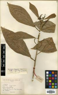 Image of Acalypha eggersii