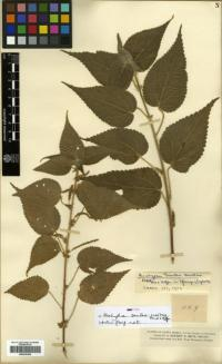 Image of Acalypha tenuipes