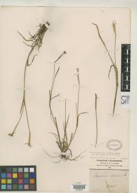 Image of Sisyrinchium chilense