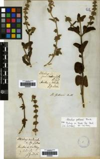 Stachys micheliana image