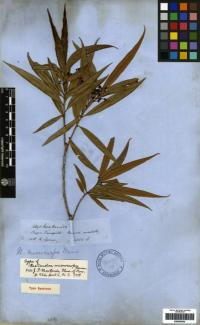 Image of Nectandra microcarpa