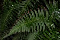 Image of Blechnum occidentale