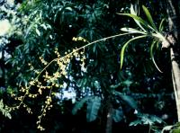 Image of Oncidium baueri