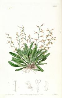 Image of Pleurothallis picta