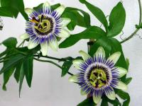Image of Passiflora caerulea