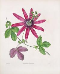 Image of Passiflora kermesina