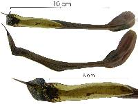 Image of Aristolochia tonduzii