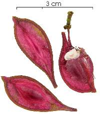 Image of Paullinia pinnata