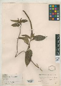 Image of Acalypha benensis
