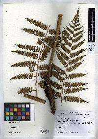 Image of Cyathea divergens