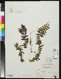 Image of Hymenophyllum dependens
