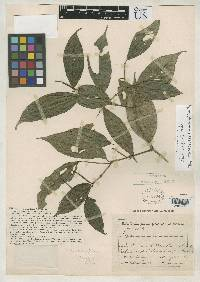 Image of Piper concinnifolium