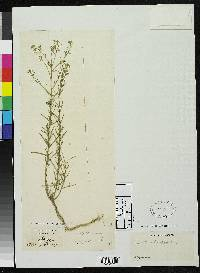 Image of Lepidium quitense