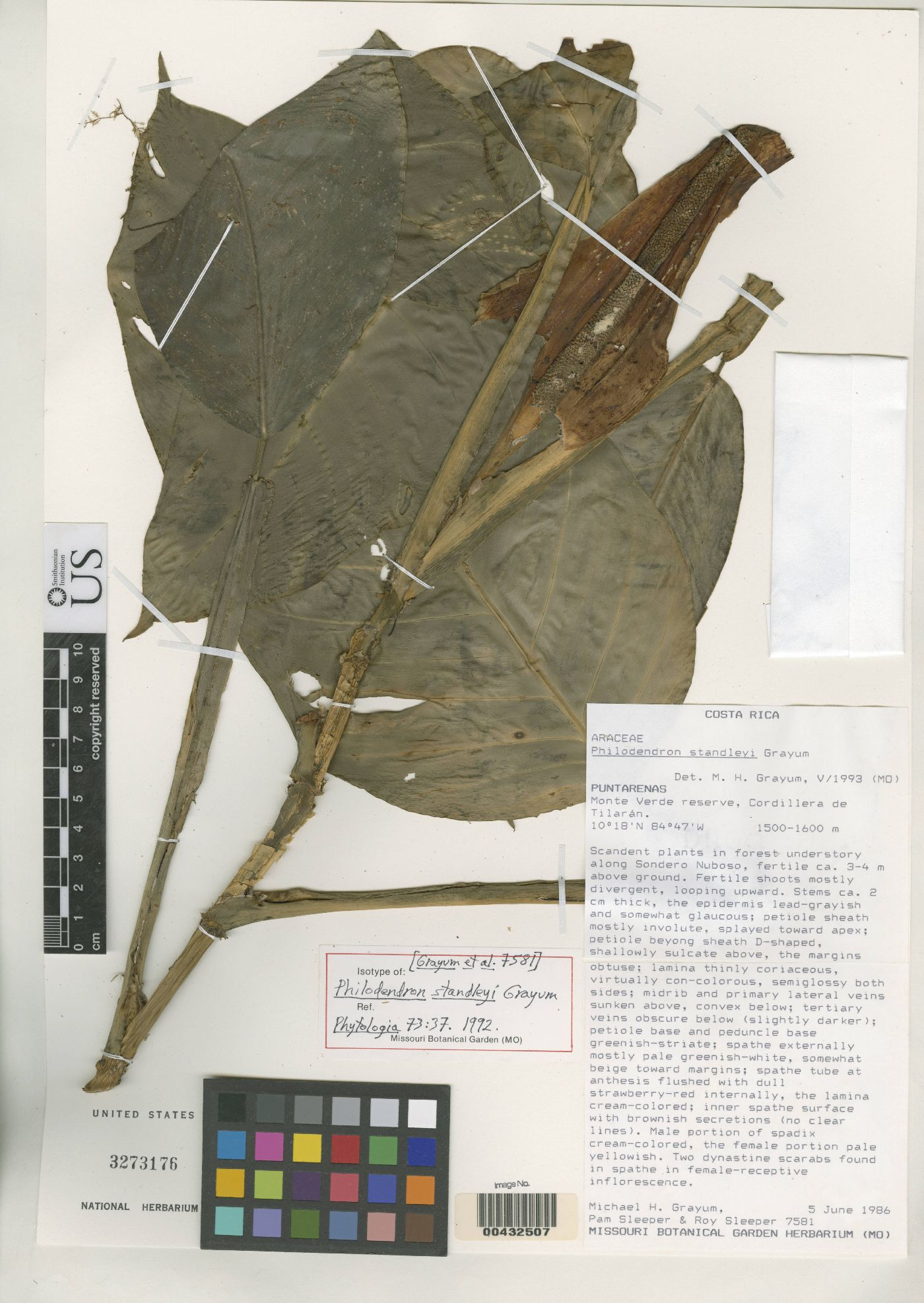 Philodendron standleyi image