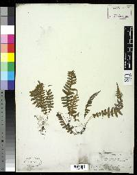 Image of Blechnum polypodioides