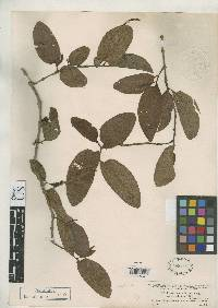 Image of Piper obtusifolium