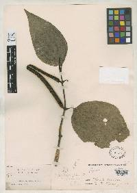 Image of Piper psilophyllum
