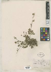 Potentilla lignipes image