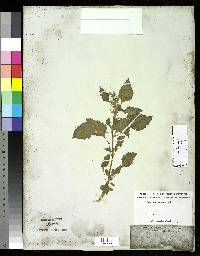 Image of Chenopodium murale
