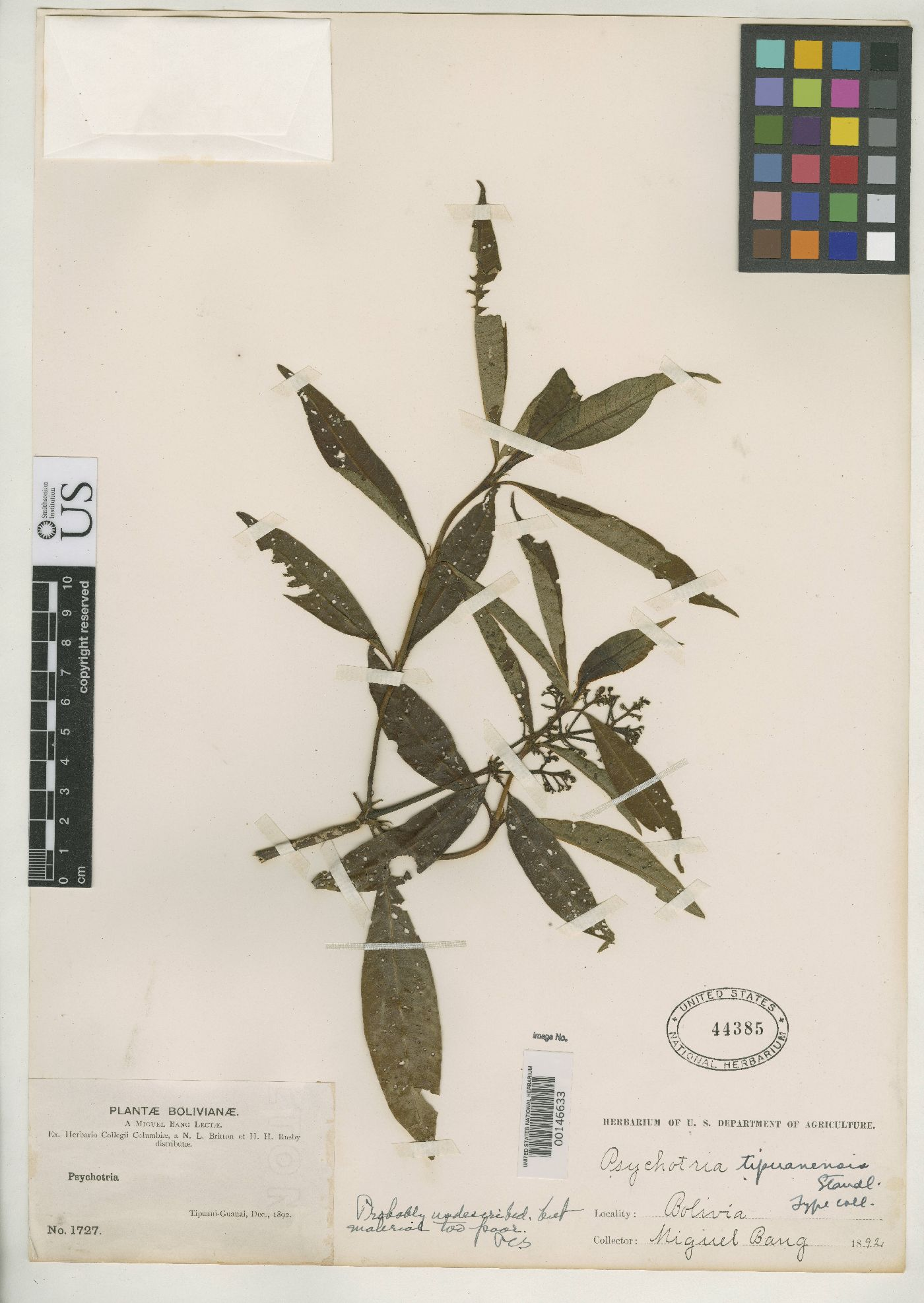 Psychotria tipuanensis image